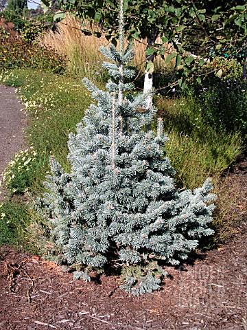 quercus palustris nana