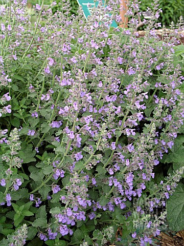 NEPETA_RACEMOSA_WALKERS_LOW