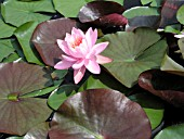 NYMPHAEA PEARL OF THE POOL