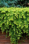 LYSIMACHIA NUMMULARIA,  GOLDILOCKS,  CREEPING JENNY,  MONEY WORT,  GROWING OVER A WALL