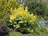 COTINUS COGGYGRIA GOLDEN SPIRIT, (SMOKE BUSH GOLDEN SPIRIT)