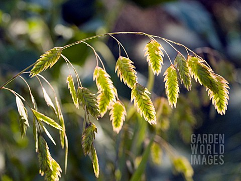 CHASMANTHIUM_LATIFOLIUM_INDIAN_WOOD_OATS__NORTHERN_SEA_OATS______