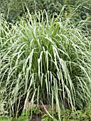 CYMBOPOGON CITRATUS  LEMON GRASS