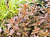 HALORAGIS ERECTA WELLINGTON BRONZE