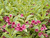 WEIGELA BRIGELA FRENCH LACE