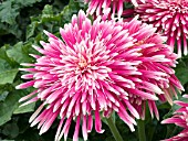 GERBERA JAMESONII GIANT SPINNER PINK WHITE