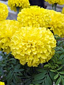 TAGETES ERECTA DOUBLOON