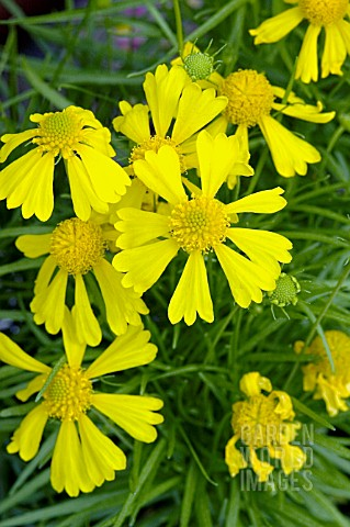 HELENIUM_AMARUM_DAKOTA_GOLD________