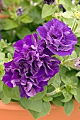 PETUNIA DOUBLE MADNESS BLUE