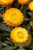 BRACTEANTHA BRACTEATA WALLABY ORANGE BLAZE