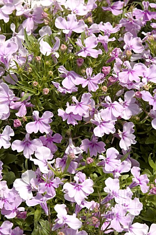 Bep9180 Lobelia Erinus Riviera Lilac Asset Details Garden World