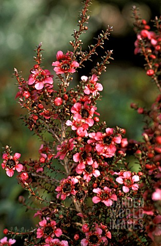 _LEPTOSPERMUM_SCOPARIUM__NANUM_RURU__TEA_TREE__FLOWERS