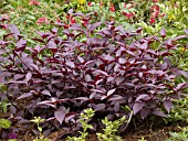 ALTERNANTHERA DENTATA PURPLE KNIGHT