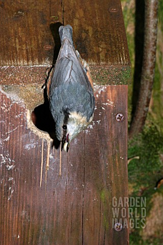 NUTHATCH__SITTA_EUROPAEA__AT_NESTBOX__SIDE_VIEW