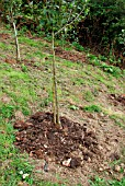 COMPOST MULCHING AROUND APPLE TREE