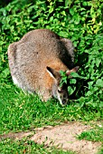 RED NECK WALLABY (MACROPUS RUFOGRISEUS)
