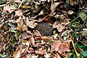 HEDGEHOG HIBERNATING IN FALLEN LEAVES