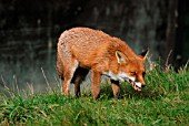 RED FOX (VULPES VULPES) VIXEN EATING A FROG