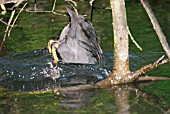 COOT (FULICA ATRA) DIVING
