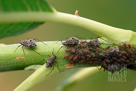 WILLOW_APHIDS_ON_BRANCH