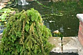 HORNWORT REMOVED FROM POND