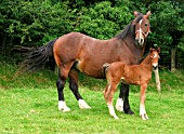 WELSH COBS CLASS D WITH FOAL