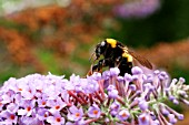 BUMBLE BEE TAKING NECTAR FROM BUDDLEIA