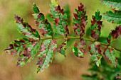 FUNGAL LEAF SPOT ON MOUNTAIN ASH (SORBUS AUCUPARIA)