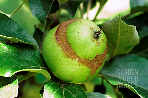 APPLE_SAWFLY__SUPERFICIAL_DAMAGE_TO_SKIN