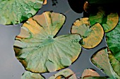 RUST DEPOSIT ON WATER LILY LEAVES