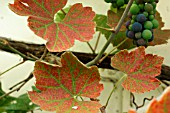 RED SPIDER MITE ON GRAPE VINE LEAVES