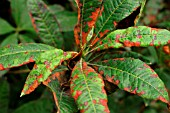RHODODENDRON LEAF SPOT ON AZALEA