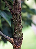 APPLE CANKER,  NECTRIA GALLIGENA,  BARK RINGING ON APPLE