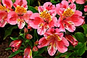 ALSTROEMERIA PRINCESS STEPHANIE