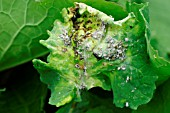 CABBAGE APHID ATTACK ON SWEDE LEAVES