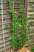 GOOSEBERRY CAPTIVATOR (RIBES GROSSULARIA) DOUBLE CORDON TRAINED
