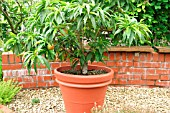 PEACH TREE GROWING IN PATIO POT