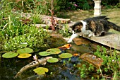 CAT TRYING TO CATCH FISH IN POND