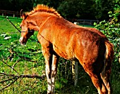 WELSH COB FOAL NEAR BARBED WIRE FENCE