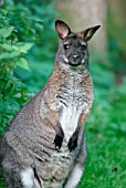 RED NECKED WALLABY (MACROPUS RUFOGRISEUS)
