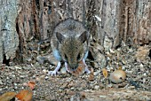 WOOD MOUSE (APODEMUS SYLVATICUS) EATING HAZELNUTS