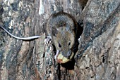 WOOD MOUSE (APODEMUS SYLVATICUS) EATING ACORN