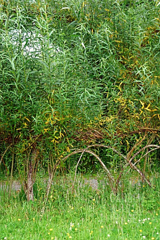 WOVEN_LIVING_WILLOW_FENCING