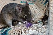 MUS DOMESTICUS,  HOUSE MOUSE