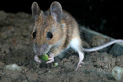 APODEMUS_SYLVATICUS__WOODMOUSE