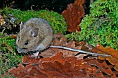 APODEMUS FLAVICOLLIS,  YELLOW NECKED MOUSE
