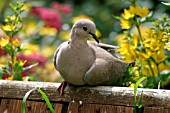 COLLARED DOVE,  STREPTOPELIA DECAOCTO
