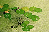 DUCKWEED,  COVERING LILY PADS,  LEMNA SPP
