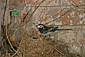MOTOCILLA ALBA,  PIED WAGTAIL AT NEST