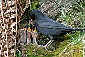 BLACKBIRD (TURDUS MERULA) MALE FEEDING YOUNG AT NEST